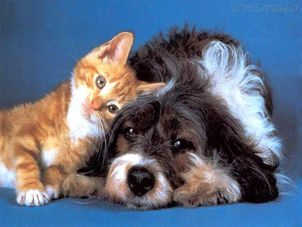 gatos-e-cachorros-podem-conviver-gato-miando-72